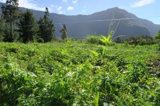 Sur le fil, les plants de margoze