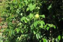 Les chouchous pommes