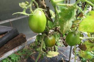 Tomates péi pour rougail et caris authentiques